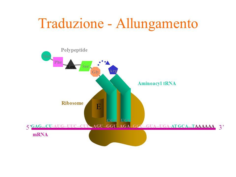 A E Ribosome P Phe Leu Met Ser Gly Polypeptide Arg Aminoacyl tRNA UCUCCA Traduzione - Allungamento GAG...CU-AUG--UUC--CUU--AGU--GGU--AGA--GCU--GUA--UG