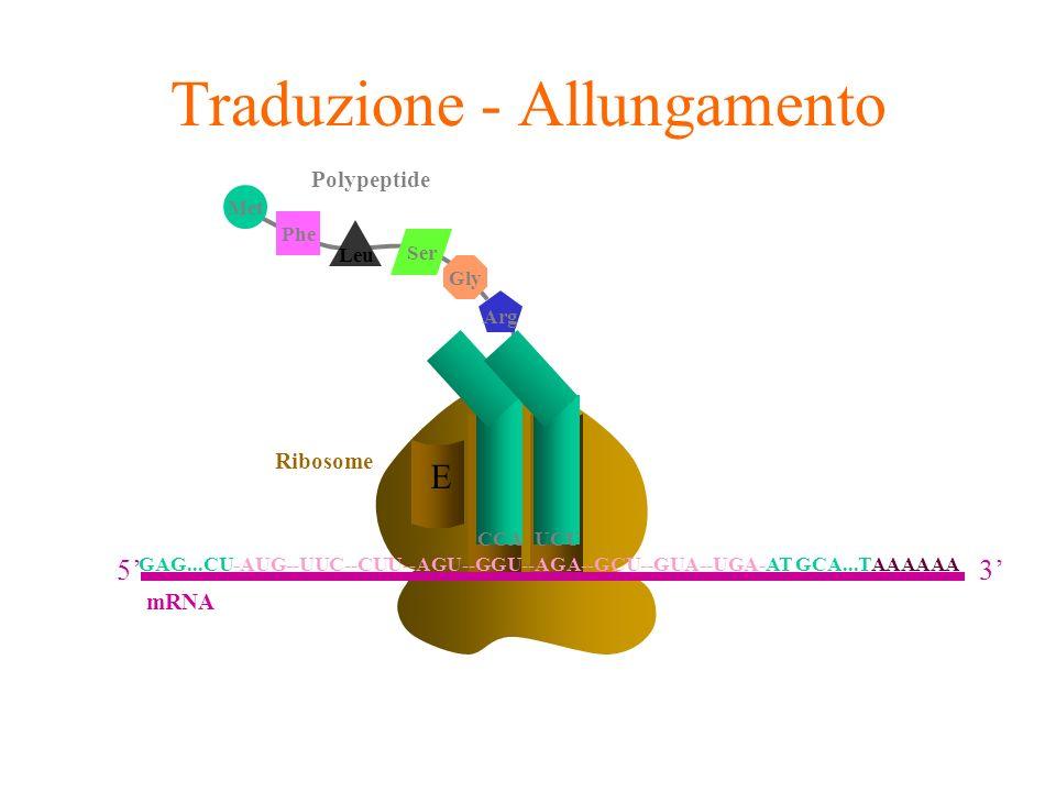 A E Ribosome P CCA Arg UCU Phe Leu Met Ser Gly Polypeptide Traduzione - Allungamento GAG...CU-AUG--UUC--CUU--AGU--GGU--AGA--GCU--GUA--UGA-AT GCA...TAA