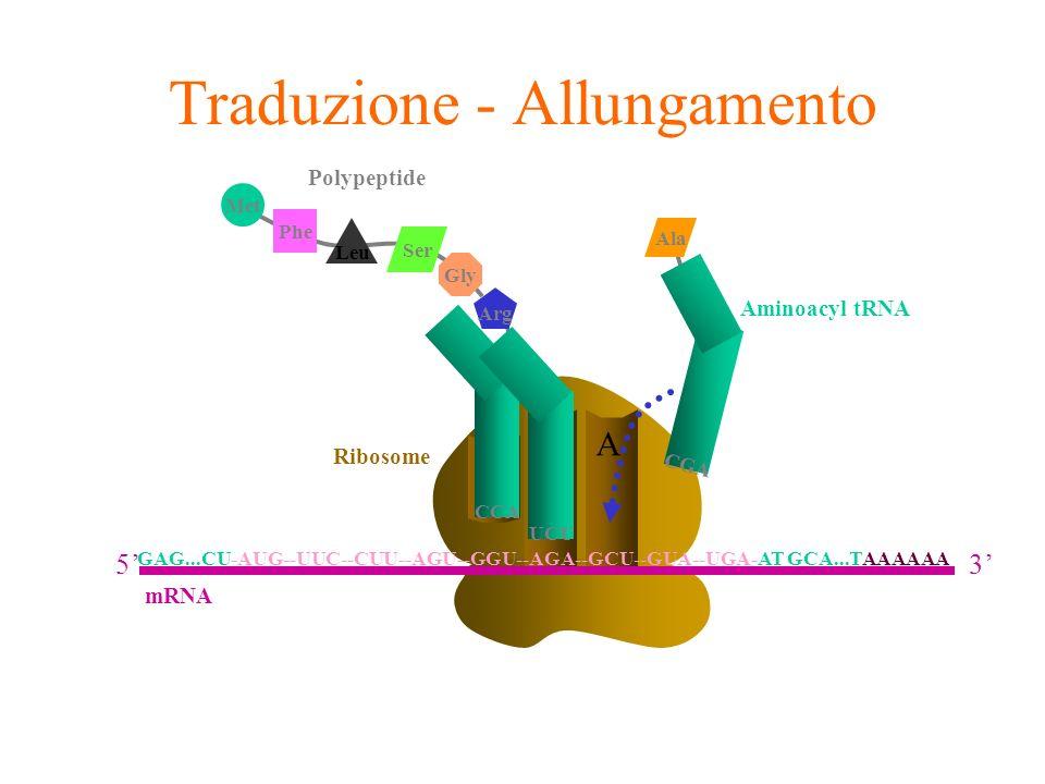 A E Ribosome P Traduzione - Allungamento Aminoacyl tRNA CGA Ala CCA Arg UCU Phe Leu Met Ser Gly Polypeptide GAG...CU-AUG--UUC--CUU--AGU--GGU--AGA--GCU