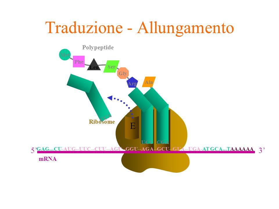 A E Ribosome P Traduzione - Allungamento CCA Arg UCU Phe Leu Met Ser Gly Polypeptide CGA Ala GAG...CU-AUG--UUC--CUU--AGU--GGU--AGA--GCU--GUA--UGA-AT G