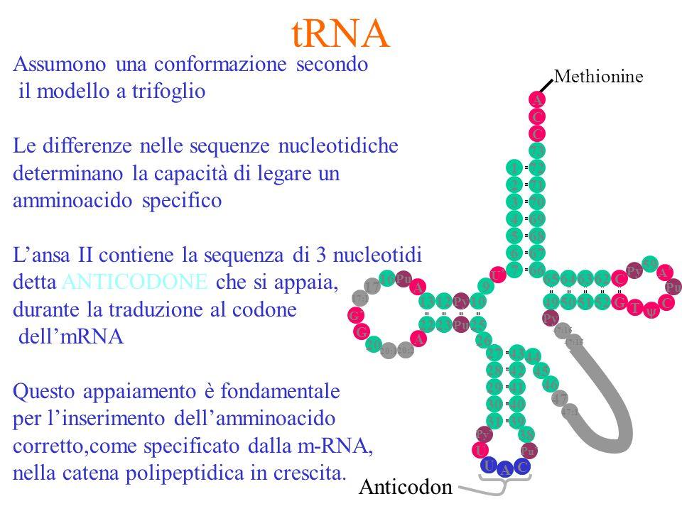 Methionine tRNA A C U Anticodon Assumono una conformazione secondo il modello a trifoglio Le differenze nelle sequenze nucleotidiche determinano la ca