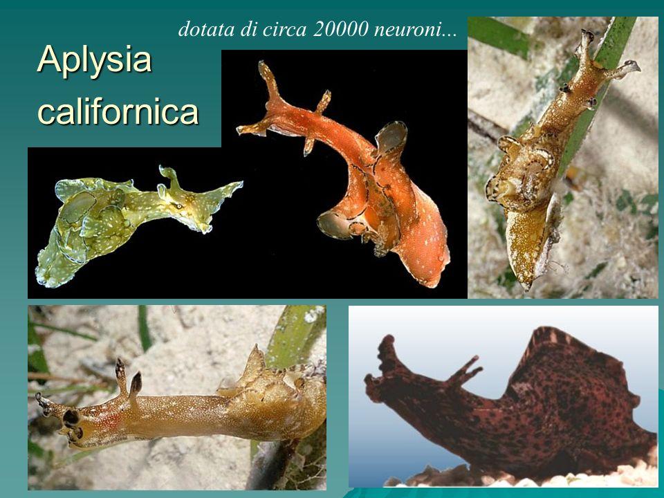 Aplysia californica dotata di circa 20000 neuroni...