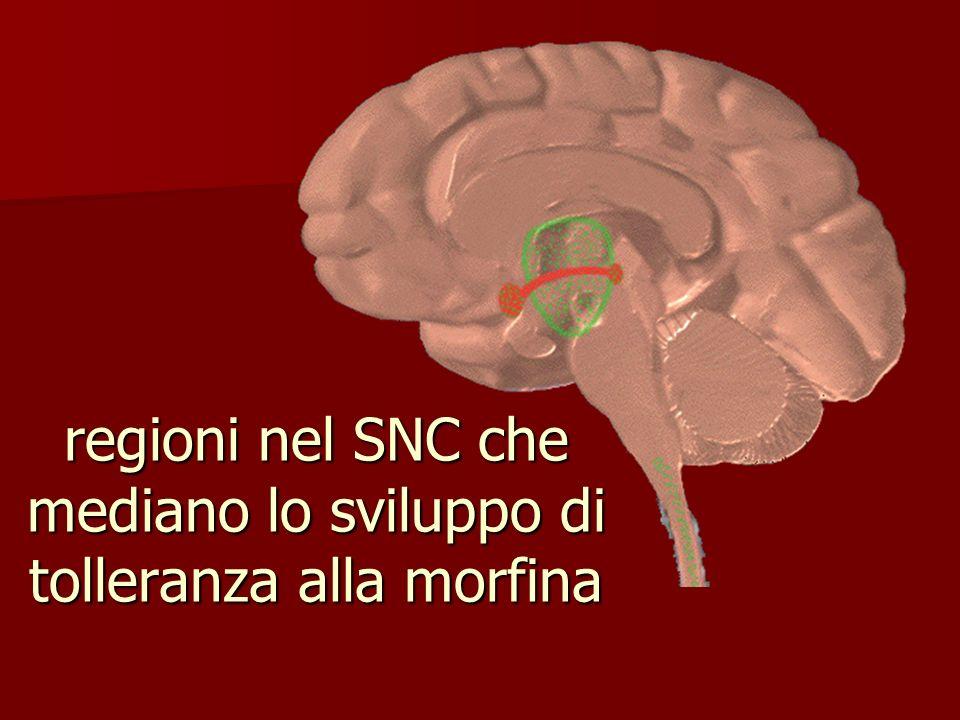 regioni nel SNC che mediano lo sviluppo di tolleranza alla morfina
