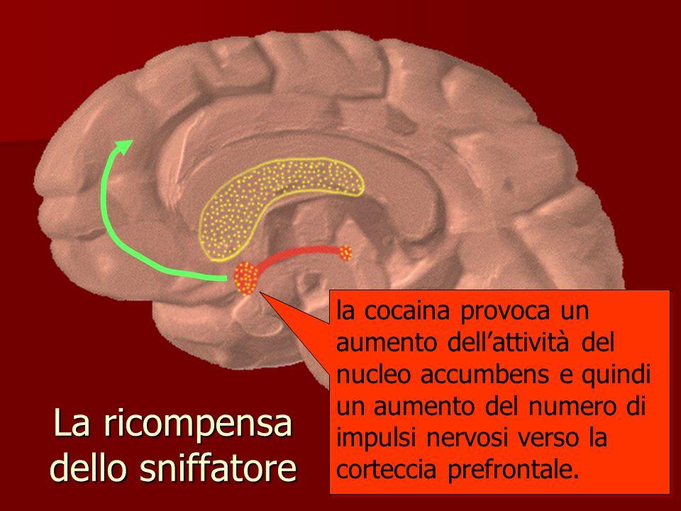 La ricompensa dello sniffatore la cocaina provoca un aumento dellattività del nucleo accumbens e quindi un aumento del numero di impulsi nervosi verso