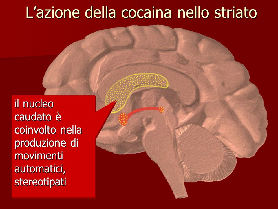 Lazione della cocaina nello striato il nucleo caudato è coinvolto nella produzione di movimenti automatici, stereotipati