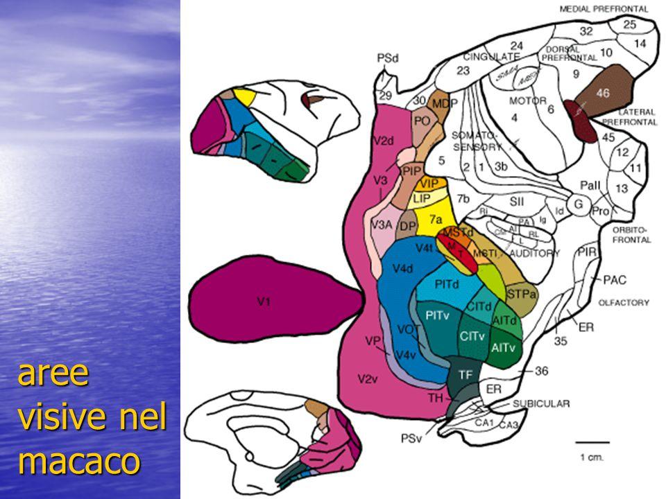 aree visive nel macaco