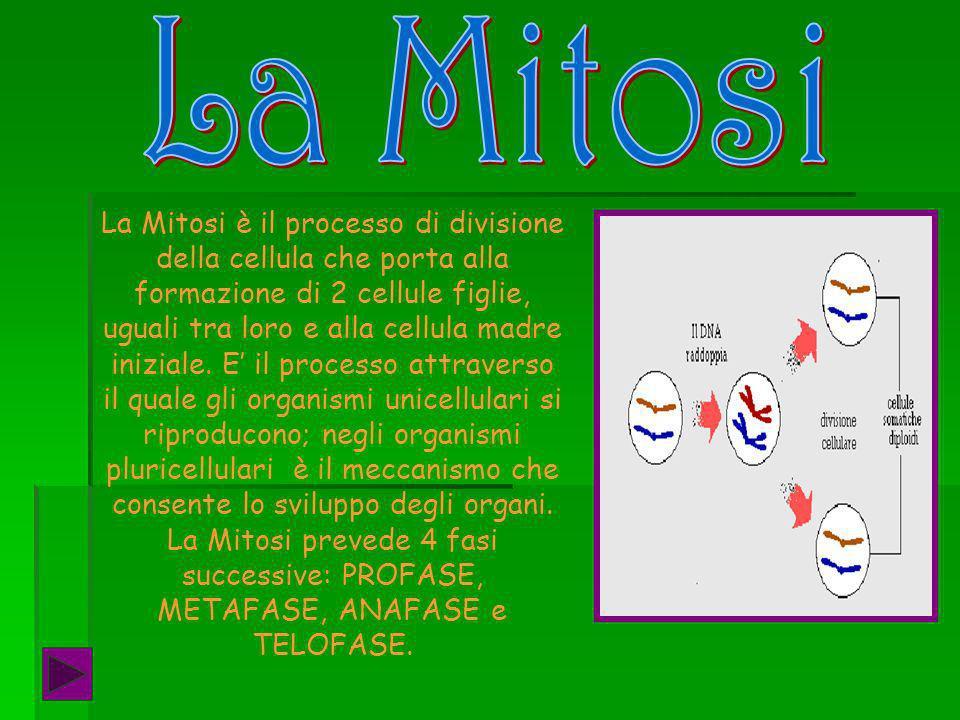 La Mitosi è il processo di divisione della cellula che porta alla formazione di 2 cellule figlie, uguali tra loro e alla cellula madre iniziale.
