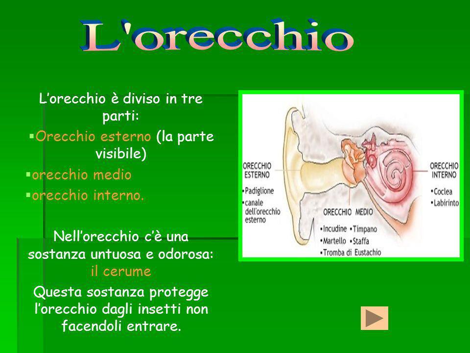 Lorecchio esterno è la parte visibile ed è formato dal : padiglione auricolare, rivestito di cartilagine e pelle, che collega al condotto uditivo.