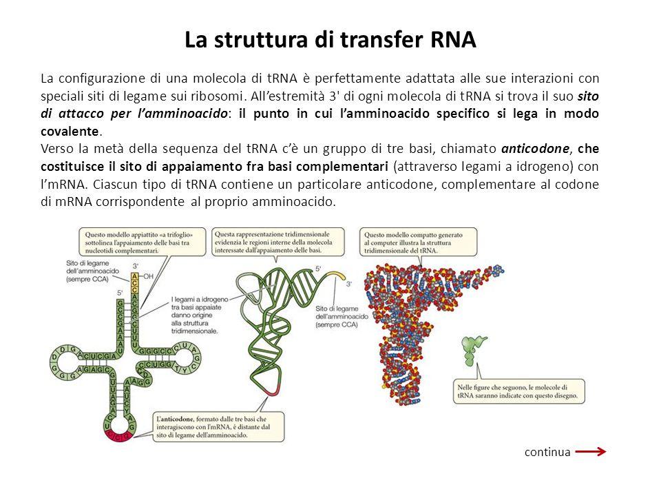 La struttura di transfer RNA La configurazione di una molecola di tRNA è perfettamente adattata alle sue interazioni con speciali siti di legame sui r