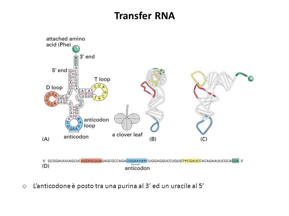 Transfer RNA o Lanticodone è posto tra una purina al 3 ed un uracile al 5