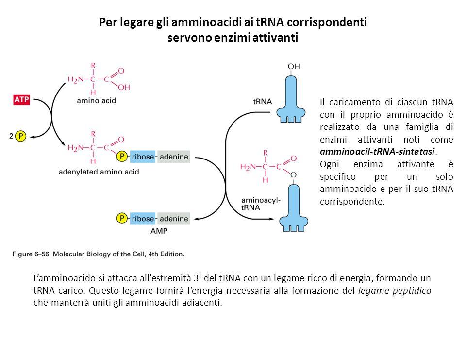 Per legare gli amminoacidi ai tRNA corrispondenti servono enzimi attivanti Il caricamento di ciascun tRNA con il proprio amminoacido è realizzato da u