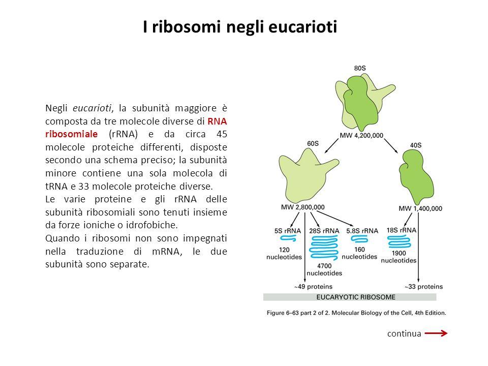 I ribosomi negli eucarioti Negli eucarioti, la subunità maggiore è composta da tre molecole diverse di RNA ribosomiale (rRNA) e da circa 45 molecole p
