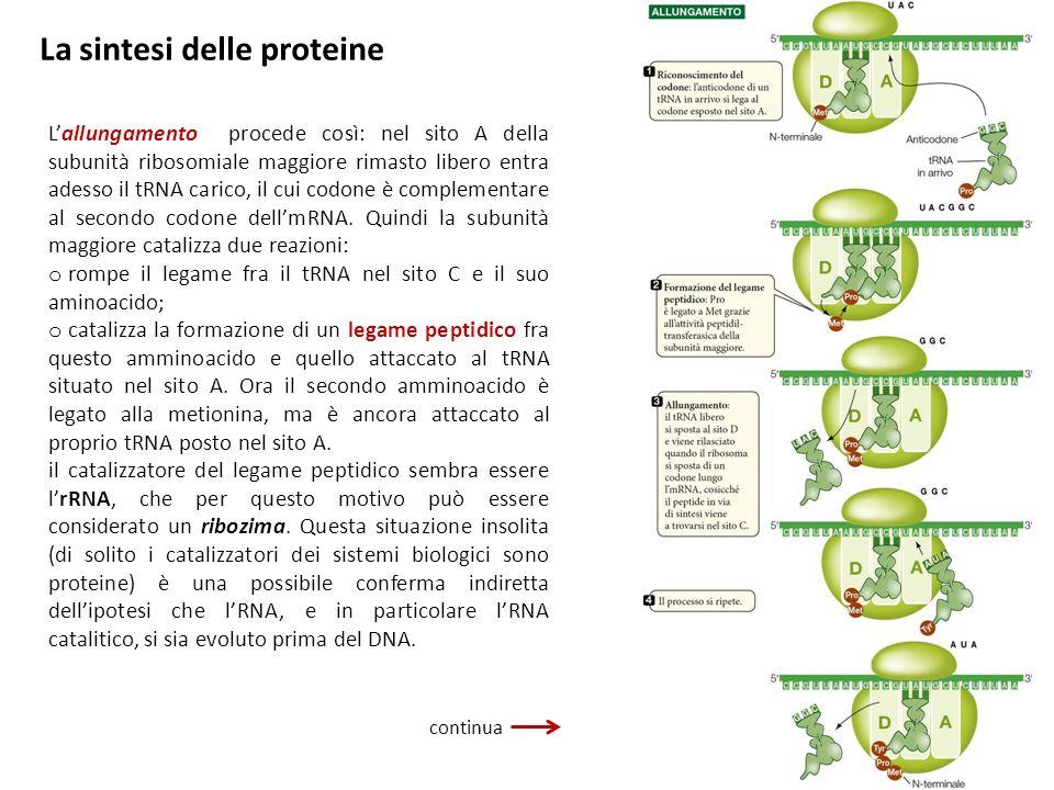 La sintesi delle proteine Lallungamento procede così: nel sito A della subunità ribosomiale maggiore rimasto libero entra adesso il tRNA carico, il cu