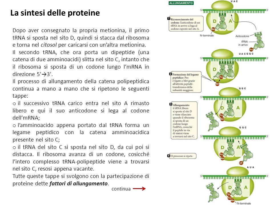 La sintesi delle proteine Dopo aver consegnato la propria metionina, il primo tRNA si sposta nel sito D, quindi si stacca dal ribosoma e torna nel cit