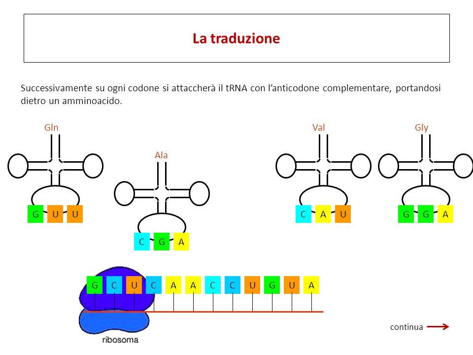 La fase di traduzione ha inizio quando lRNA messaggero si attacca al ribosoma. GCUCAACCUGUA CGA Ala UGU Gln AGG Gly UCA Val Successivamente su ogni co