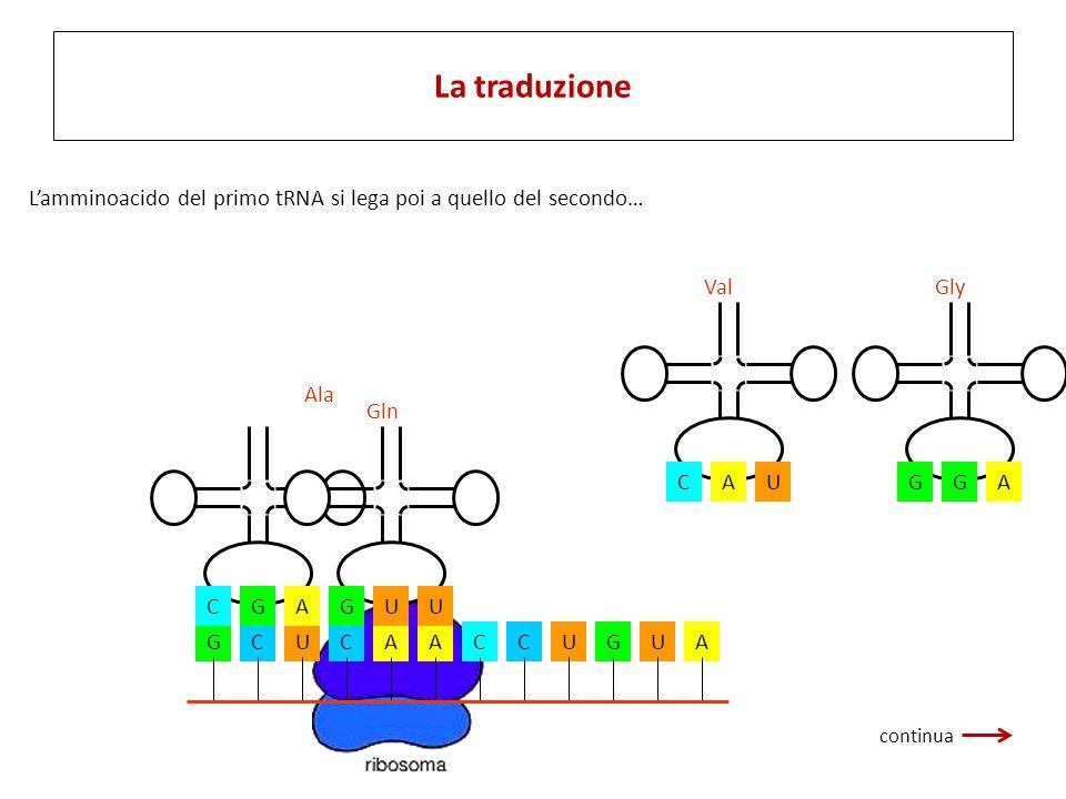 GCUCAACCUGUA CGA Ala UGU Gln AGG Gly UCA Val Lamminoacido del primo tRNA si lega poi a quello del secondo… La traduzione continua