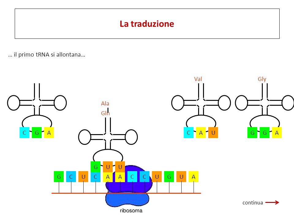 GCUCAACCUGUA CGA Ala UGU Gln AGG Gly UCA Val … il primo tRNA si allontana… La traduzione continua
