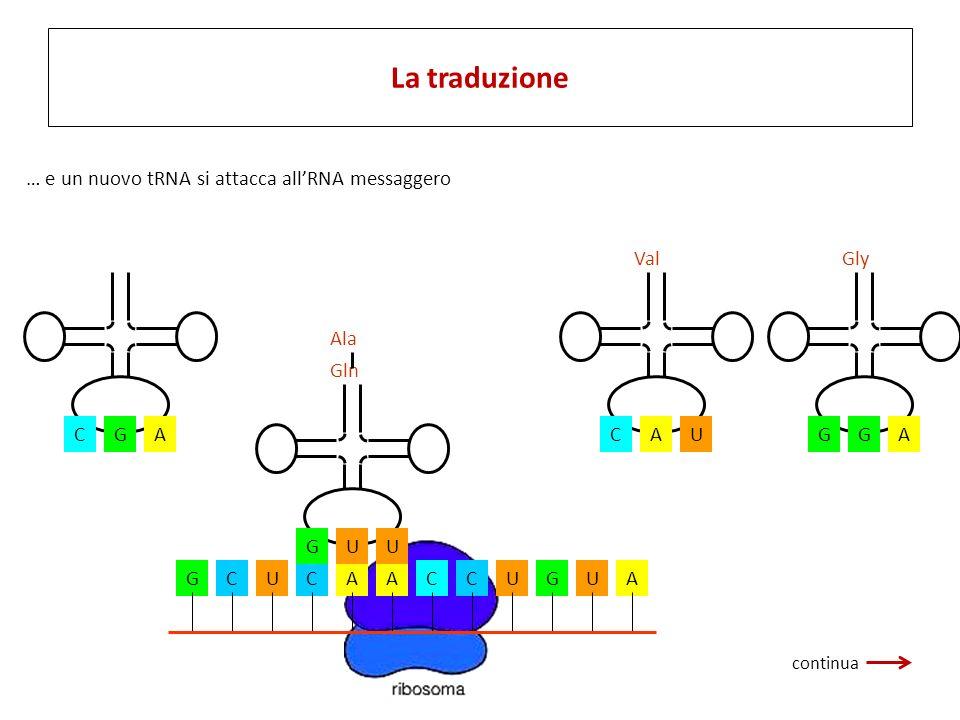 GCUCAACCUGUA CGA Ala UGU Gln AGG Gly UCA Val … e un nuovo tRNA si attacca allRNA messaggero La traduzione continua