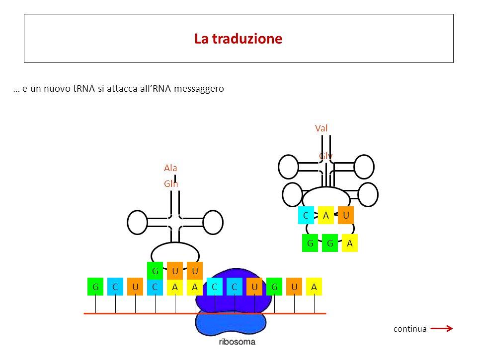 GCUCAACCUGUA Ala UGU Gln AGG Gly UCA Val … e un nuovo tRNA si attacca allRNA messaggero La traduzione continua