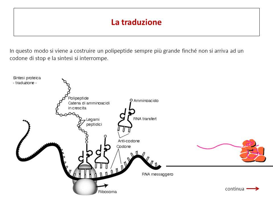 In questo modo si viene a costruire un polipeptide sempre più grande finché non si arriva ad un codone di stop e la sintesi si interrompe. La traduzio