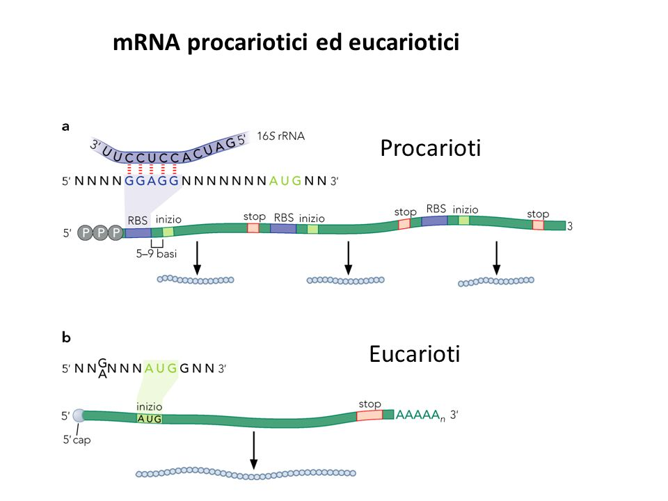 La sintesi delle proteine La terminazione avviene quando nel sito A entra uno dei tre codoni di stop: il ciclo di allungamento si arresta e la traduzione ha termine.