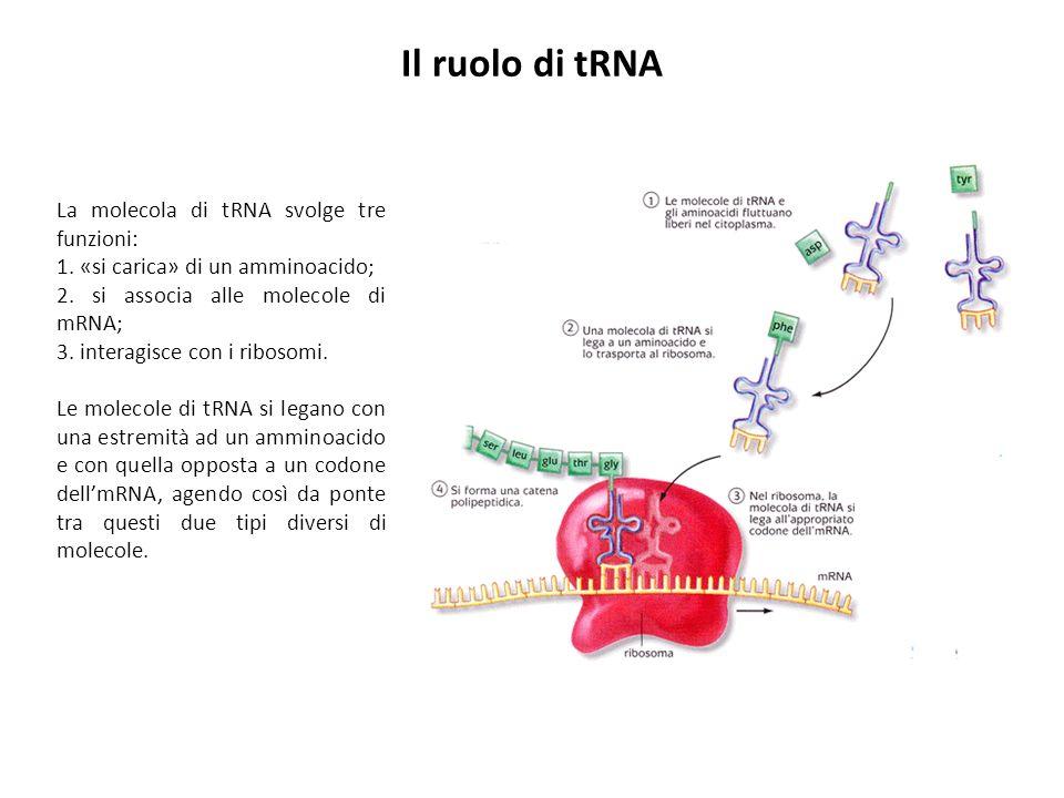 Il ruolo di tRNA La molecola di tRNA svolge tre funzioni: 1. «si carica» di un amminoacido; 2. si associa alle molecole di mRNA; 3. interagisce con i