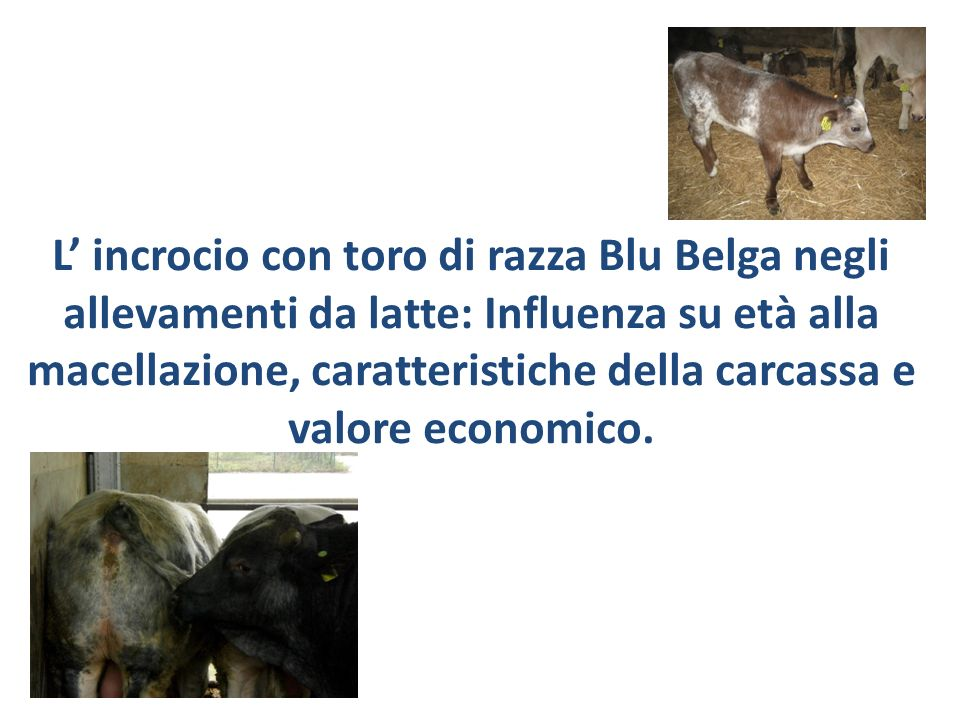 L incrocio con toro di razza Blu Belga negli allevamenti da latte: Influenza su età alla macellazione, caratteristiche della carcassa e valore economi