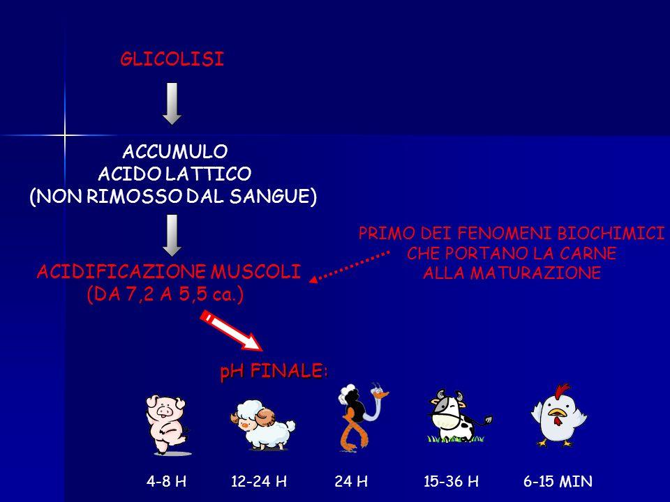 NO O 2 NO A.G. per mancata circolazione del sangue NO GLUCOSIO NELLANIMALE POST MORTEM: METABOLISMO ANAEROBICO GLICOLISI