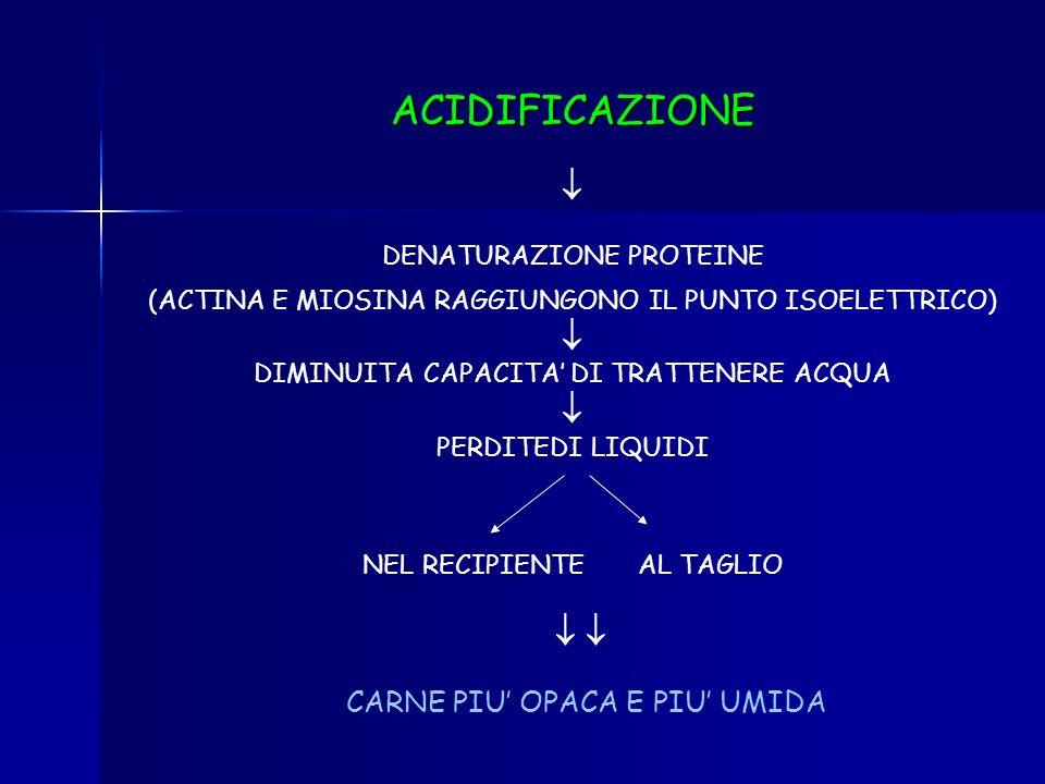 ACCUMULO ACIDO LATTICO (NON RIMOSSO DAL SANGUE) PRIMO DEI FENOMENI BIOCHIMICI CHE PORTANO LA CARNE ALLA MATURAZIONE GLICOLISI ACIDIFICAZIONE MUSCOLI (