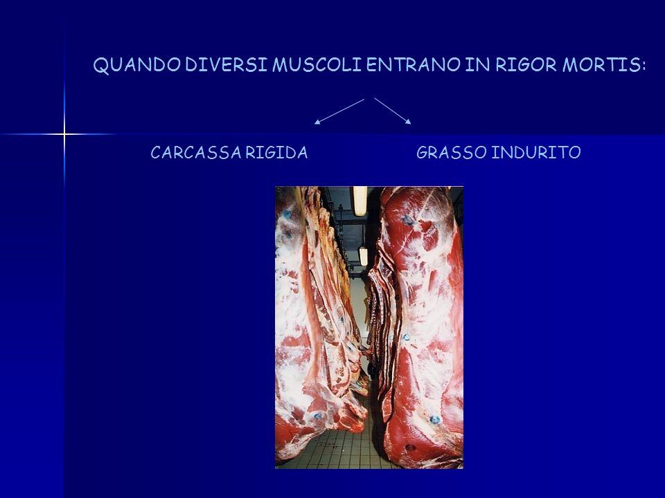 MUSCOLO IN RIGOR MUSCOLO RILASSATO ATP ESTENSIBILITA RELAZIONE TRA CALO DI ATP E ANDAMENTO DEL RIGOR