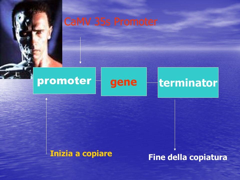 promoter gene terminator CaMV 35s Promoter Inizia a copiare Fine della copiatura
