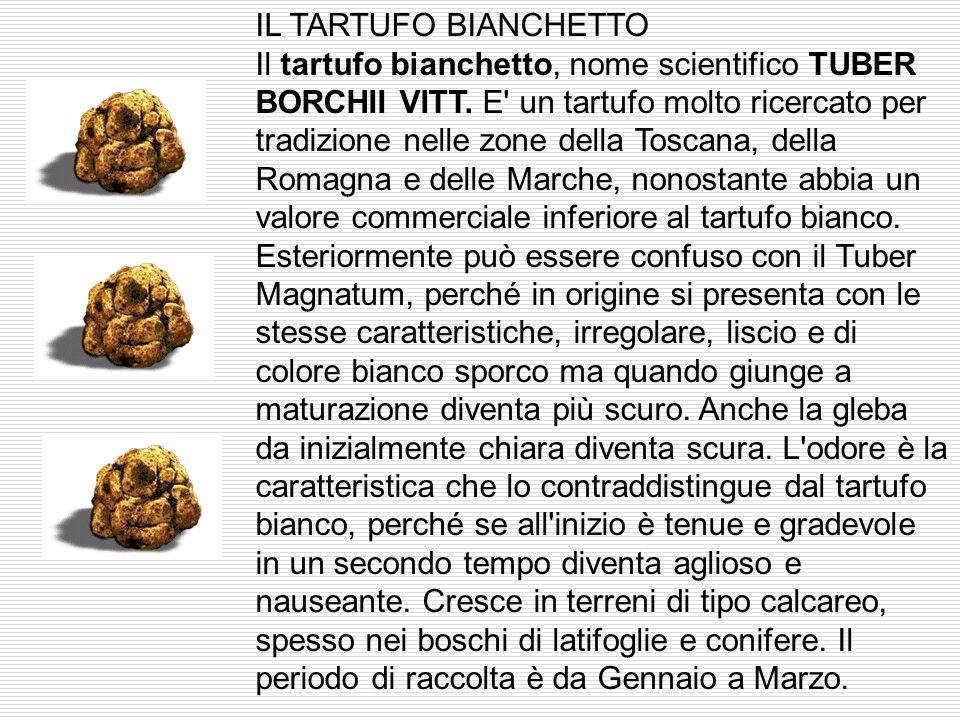 Alcune specie di tartufo TARTUFO NERO Il tartufo nero pregiato, nome scientifico TUBER MELANOSPORUM VITT conosciuto come tartufo di Norcia, di Spoleto
