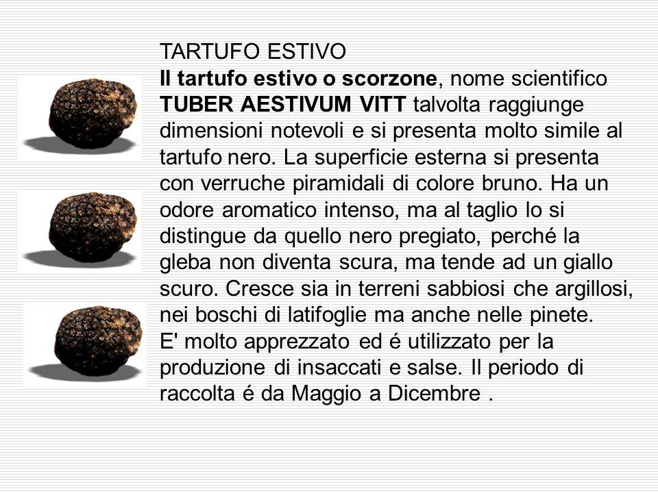 IL TARTUFO BIANCHETTO Il tartufo bianchetto, nome scientifico TUBER BORCHII VITT. E' un tartufo molto ricercato per tradizione nelle zone della Toscan