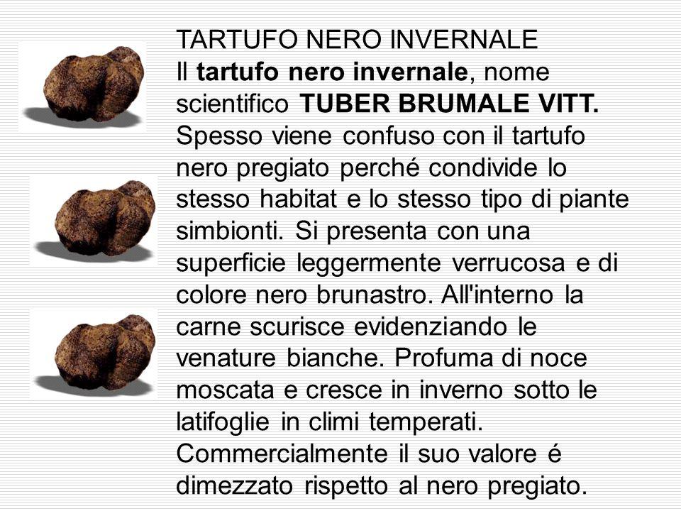 TARTUFO ESTIVO Il tartufo estivo o scorzone, nome scientifico TUBER AESTIVUM VITT talvolta raggiunge dimensioni notevoli e si presenta molto simile al