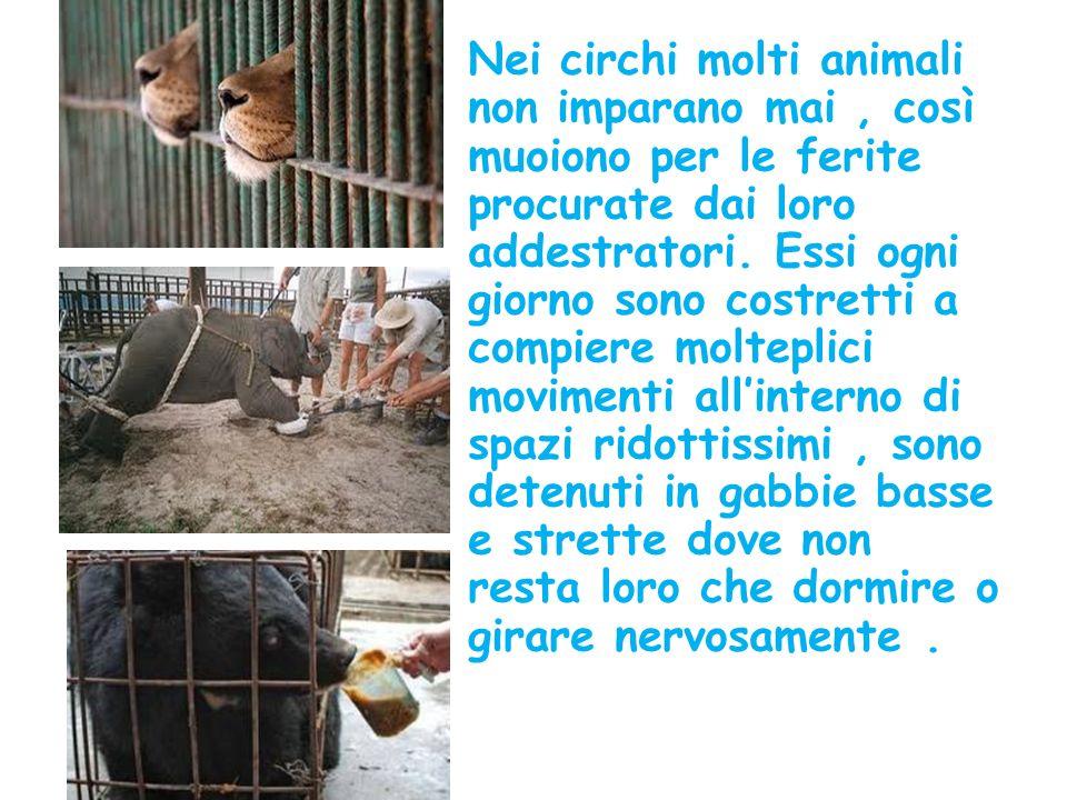 Nei circhi molti animali non imparano mai, così muoiono per le ferite procurate dai loro addestratori.