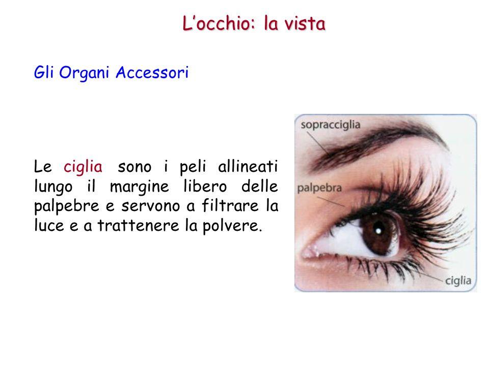 Le sopracciglia sono i peli disposti lungo l orlo superiore dell orbita e servono a impedire che il sudore della fronte penetri nell occhio e produca irritazione.