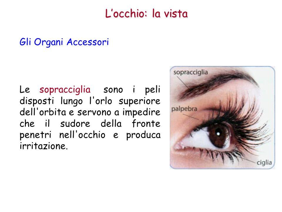 Il bulbo oculare ha la forma di una sfera con il diametro di circa 2,5 cm.