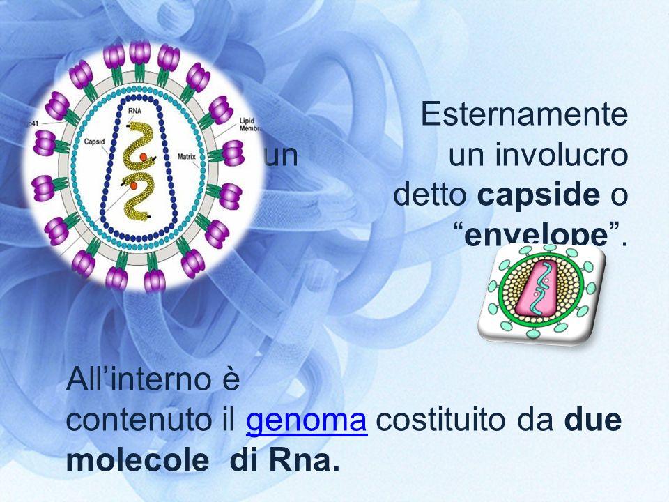 Esternamente presentano un un involucro fosfolipidico detto capside oenvelope. Allinterno è contenuto il genoma costituito da due molecole di Rna.geno