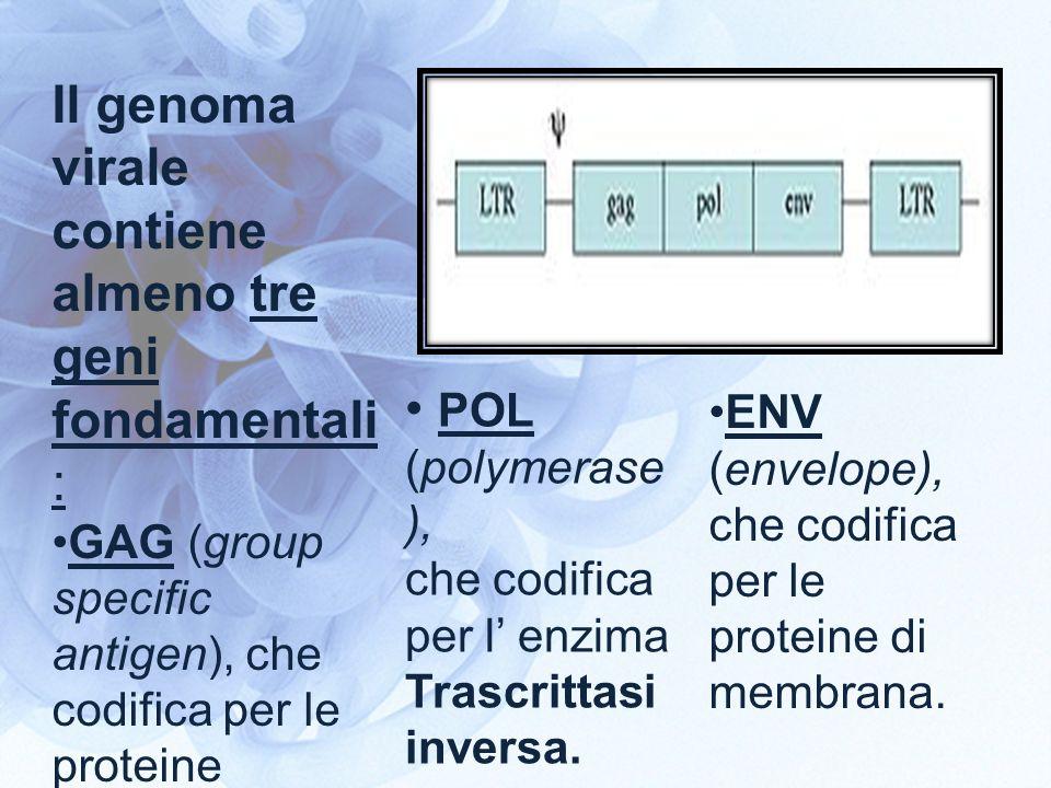 Il genoma virale contiene almeno tre geni fondamentali : GAG (group specific antigen), che codifica per le proteine strutturali. POL (polymerase ), ch