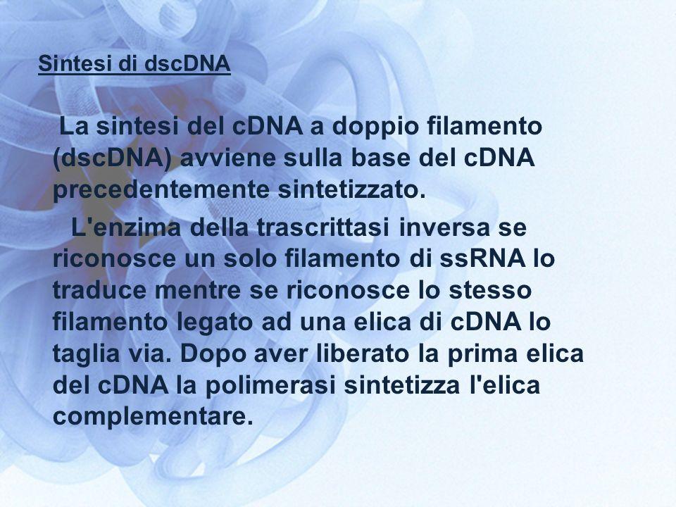Sintesi di dscDNA La sintesi del cDNA a doppio filamento (dscDNA) avviene sulla base del cDNA precedentemente sintetizzato. L'enzima della trascrittas