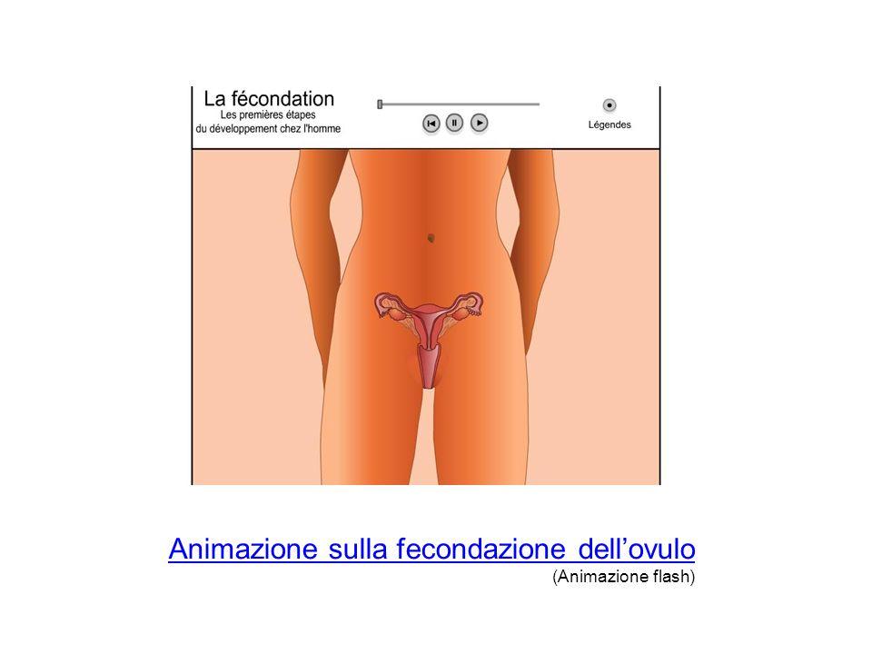 Animazione sulla fecondazione dellovulo (Animazione flash)