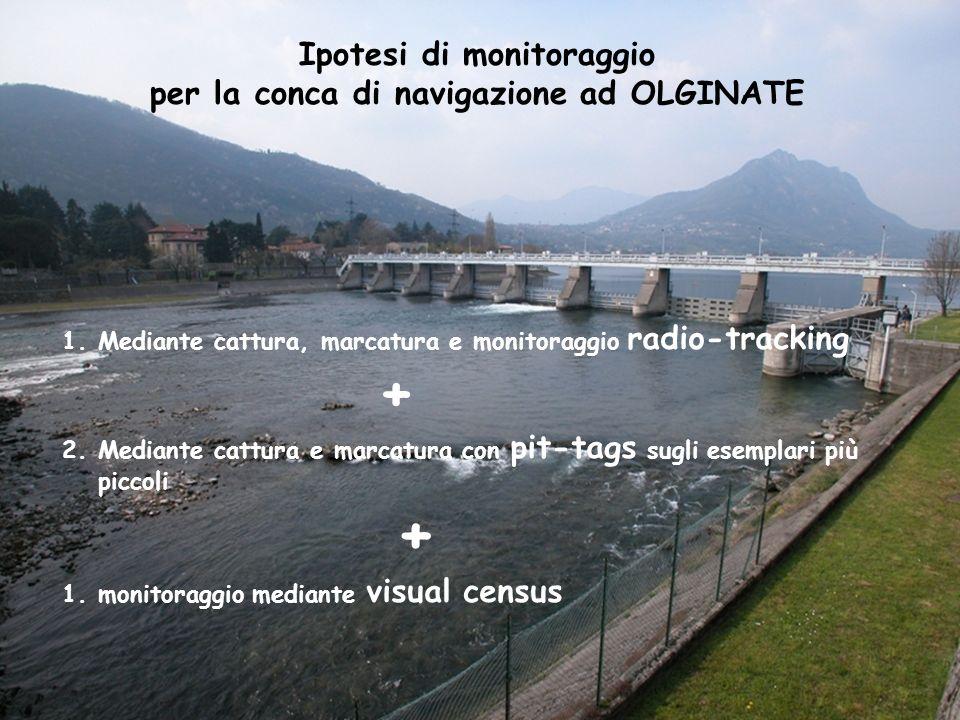 Ipotesi di monitoraggio per la conca di navigazione ad OLGINATE 1.Mediante cattura, marcatura e monitoraggio radio-tracking + 2.Mediante cattura e mar