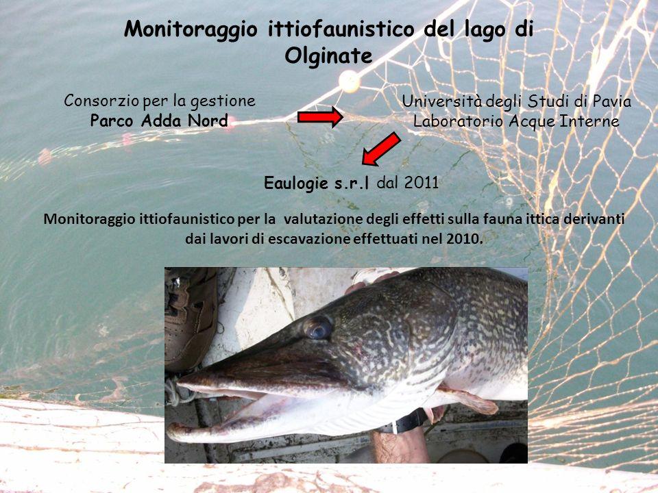 Monitoraggio ittiofaunistico del lago di Olginate Monitoraggio ittiofaunistico per la valutazione degli effetti sulla fauna ittica derivanti dai lavor