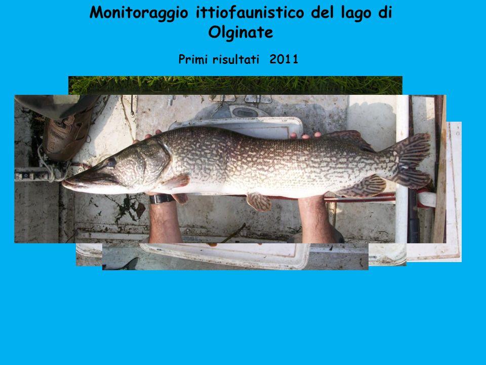 Monitoraggio ittiofaunistico del lago di Olginate Primi risultati 2011 Nel 2007 la Provincia di Lecco segnalava 28 specie In più erano presenti: Lavarello, trota iridea pseudorasbora savetta gobione storione cobice