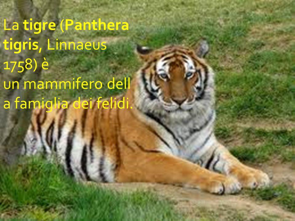 La tigre (Panthera tigris, Linnaeus 1758) è un mammifero dell a famiglia dei felidi.