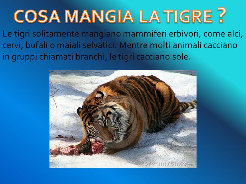 Le tigri solitamente mangiano mammiferi erbivori, come alci, cervi, bufali o maiali selvatici. Mentre molti animali cacciano in gruppi chiamati branch