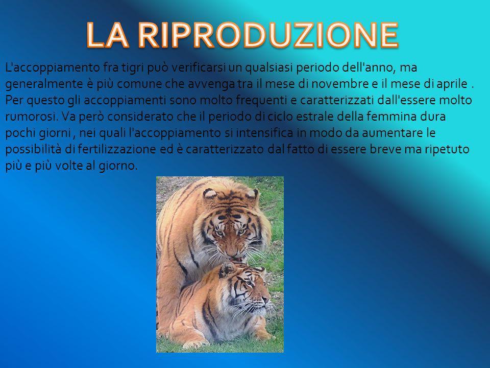 L'accoppiamento fra tigri può verificarsi un qualsiasi periodo dell'anno, ma generalmente è più comune che avvenga tra il mese di novembre e il mese d
