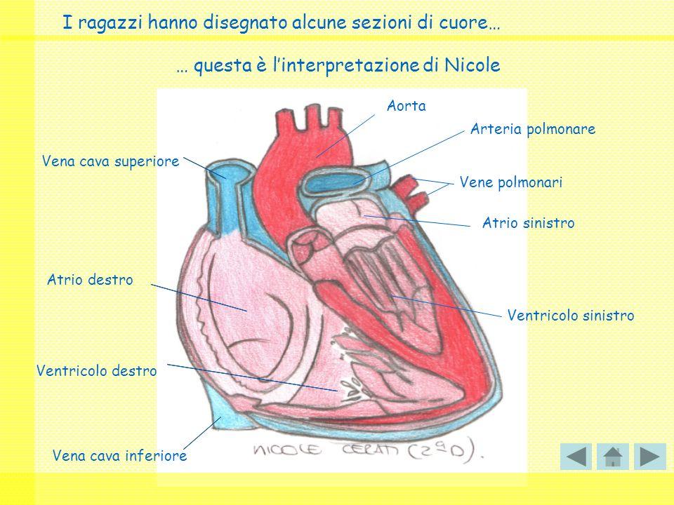 I ragazzi hanno disegnato alcune sezioni di cuore… Vena cava superiore Vena cava inferiore Atrio destro Atrio sinistro Ventricolo sinistro Ventricolo destro Vene polmonari Aorta Arteria polmonare … questa è linterpretazione di Nicole