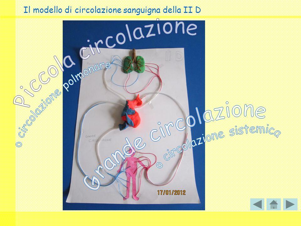 Il modello di circolazione sanguigna della II D