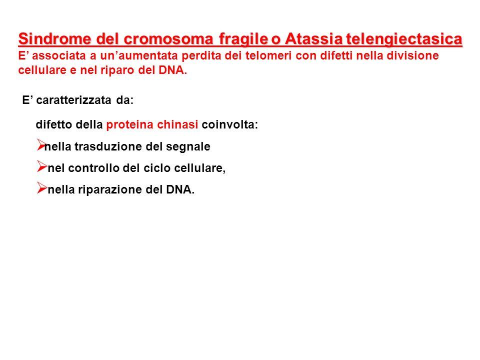 Sindrome del cromosoma fragile o Atassia telengiectasica E associata a unaumentata perdita dei telomeri con difetti nella divisione cellulare e nel ri